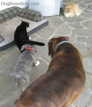 The back of a blue-nose brindle Pit Bull Terrier puppy that is sniffing a cats rear and standing next to him is a brown with black and white Boxer on a stone porch. There is a longhaired orange and white cat watching in the distance.