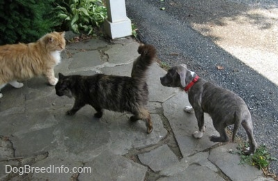 A blue-nose brindle Pit Bull Terrier puppy is following a cat across a stone porch and there is another cat looking at him.
