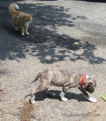 A blue-nose brindle Pit Bull Terrier puppy is walking across a blacktop surface and looking at him is a longhaired orange and white cat.