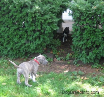 The back of a blue-nose brindle Pit Bull Terrier puppy standing in grass and he is looking to the right. There is a thick amount of bushes in front of him and walking out of the bushes is a cat.