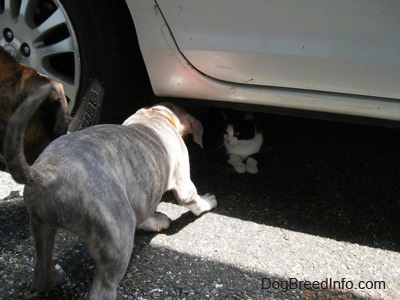 The back of a blue-nose brindle Pit Bull Terrier puppy and a brown with black and white Boxer that is trying to get at a cat under a car.