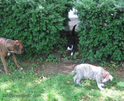 A brown with black and white Boxer is standing in grass and across a bush. The Boxer is looking at a cat walking through a hole in the bushes. There is a blue-nose brindle Pit Bull Terrier puppy that is sniffing grass in front of a bush.