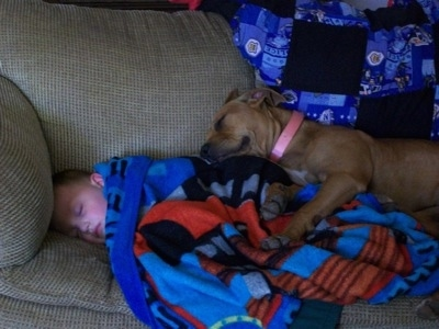 American Pit Bull Terrier laying on a blanket which is on top of a child