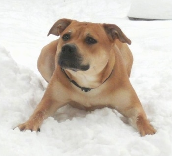 Front view - A short-haired, rose-eared, red and tan Pitweiler dog is laying with its front paws spread out in snow and it is looking up and to the left like it is waiting for someone to toss a ball.