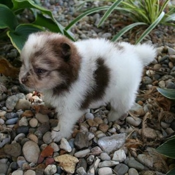 A tiny chocolate merle parti Pomeranian puppy is standing on rocks and it is looking to the left. There are plants around it.