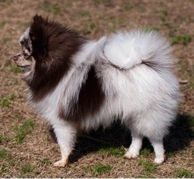 Left Profile - A chocolate merle parti Pomeranian is standing on brown grass and it is looking to the left. Its tail is curled up over its back.