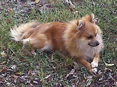 Side view - A brown with white Pomeranian is laying across a grass surface and it is looking to the right.