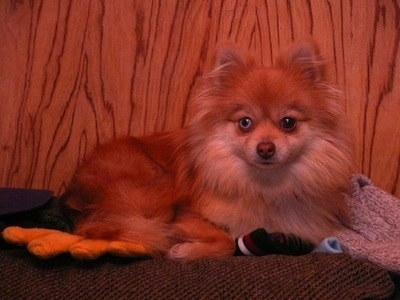 Front side view - A brown with white Pomeranian is laying on a surface and it is looking forward. One of its eyes is blue.