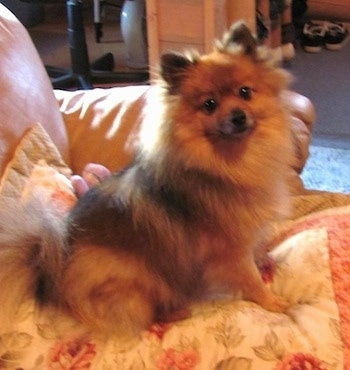 A fuzzy brown and black Pomeranian is sitting on a pillow on a couch and it is looking forward.