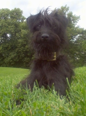 Close up front view - A shaggy looking, black Pootalian dog is laying in grass looking forward
