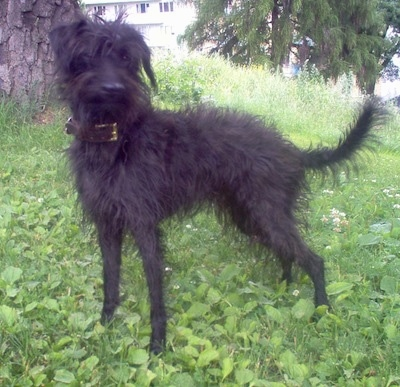 Left profile - A shaggy-looking, black Pootalian dog is standing in grass under the shade of a tree looking forward.