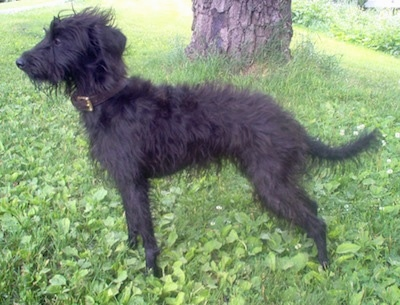 Left Profile - A shaggy-looking, black Pootalian dog is standing in grass under the shade of a tree looking to the left.