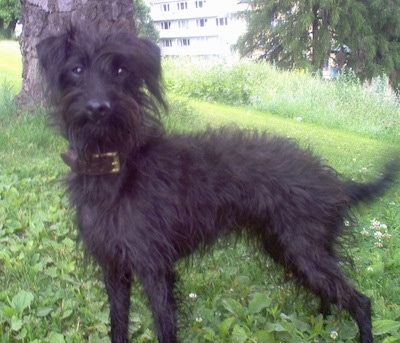 Left Profile - A shaggy, black Pootalian dog is standing in grass under the shade of a tree looking forward.