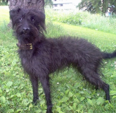 Side view - A shaggy looking, black wire haired Pootalian dog is wearing a brown leather collar standing outside in grass and weeds under the shade of a tree looking forward.
