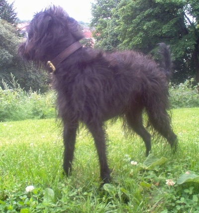 Close up side view - A shaggy, black Pootalian dog is wearing a brown leather collar standing in grass looking at the treeline behind it.