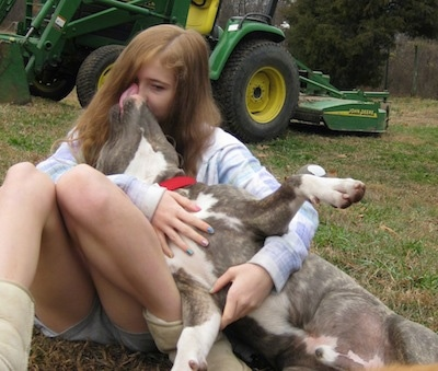 A blue-nose brindle Pit Bull Terrier is laying in the lap of a girl and he is licking her face