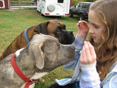 Close Up - The right side of a brown brindle with white Boxer and a blue-nose brindle Pit Bull Terrier are sitting in a yard in front of a girl holding treats