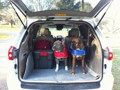 A blue-nose brindle Pit Bull Terrier and Ba brown brindle Boxer are standing in the back of a van wearing winter dog coats