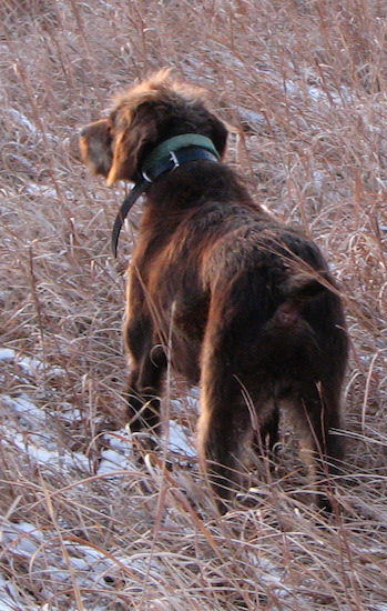 Back side view of a brown Pudelpointer dog looking across a field of tall brown grass.