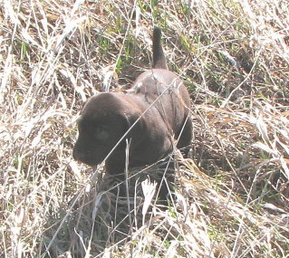 Front view - A dark brown Pudelpointer puppy is pointing to the right in tall brown grass.