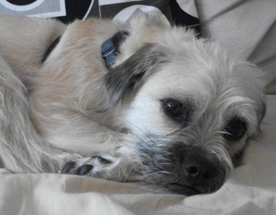 Close up head and upper body shot - A medium-haired, tan with black Pug-Coton dog is laying curled up on a bed and it is looking forward. Its small ears hang down.