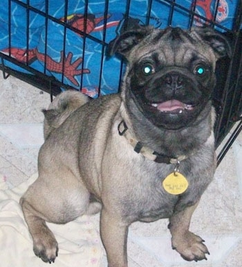 Front view - A tan with black Pug is sitting on a dog bed and behind it is a crate. The Pug is looking up, its mouth is open and it looks like it is smiling. It has a lot of black on it.