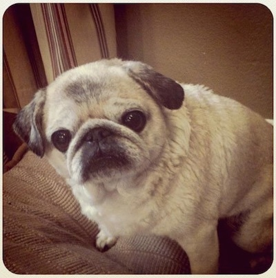 Shelby the Pug shown here at 10 years old.