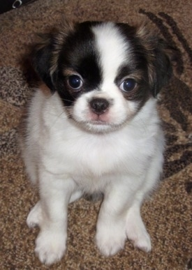 Top down view of a white with black and tan Pug-Zu Puppy and it is looking up and sitting on a rug. It has a round head and round eyes. Its body is mostly white with brown on its head.