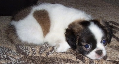 The right side of a fluffy white with black and tan Pug-Zu puppy is laying down across a brown carpet and it is looking forward.