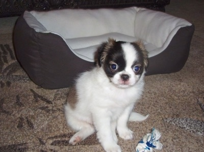 A white with black and tan Pug-Zu puppy is sitting on a carpet and it is looking forward. There is a dog bed behind it. The pup has a round head and round eyes and its coat is fuzzy.