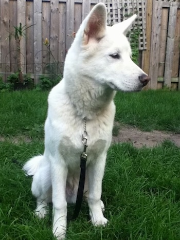 Pungsan Dog Breed Information and Pictures White Wolf Puppies