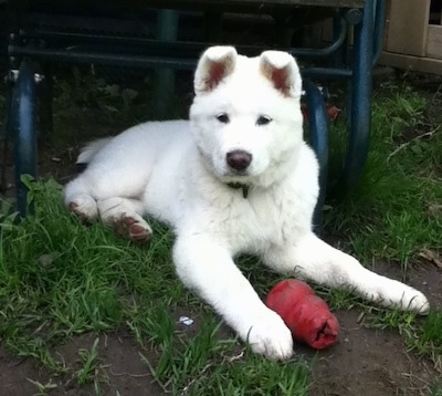 Front view - A white Pungsang Dog puppy is laying in grass and dirt with a red Kong toy in front of it looking forward. Its ears are perked up with the tips flopped over to the front.