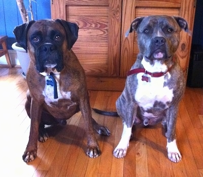 A brown brindle with white Boxer and a blue-nose brindle Pit Bull Terrier are sitting in a house in front of a cupboard and they are looking forward.