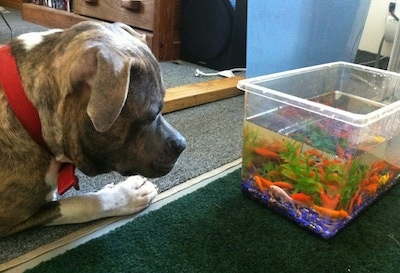 The left side of a bluue-nose brindle Pit Bull Terrier that is laying across a floor and it is looking into a goldfish bowl