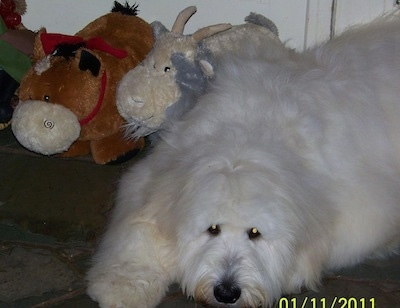 Front side view - the upper half of a fluffy, lognhaired, white Pyredoodle dog laying down on a carpet looking forward with a cow and a goat stuffed animal behind it.