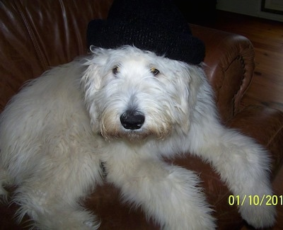 Front side view - A fluffy white Pyredoodle dog laying on a brown leather chair wearing a black hat looking up and forward.