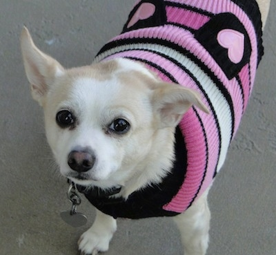 Close up - A tan with white Rat-Cha is wearing a pink,black and white sweater with hearts on it. It is looking up. One of its ears is straight up and the other is folded over and out to the side.