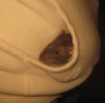 A brown with white rat is laying in the pocket of a robe.
