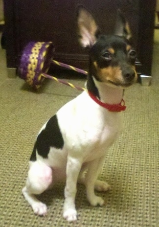 Rat Terrier Dog Breed Information And Pictures