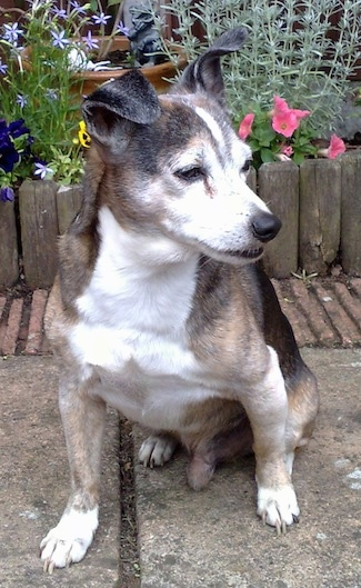 Front view - A graying, black, tan and white Ratonero Bodeguero Andaluz dog is sitting on a walkway looking to the right in front of a garden that has colorful flowers in it.