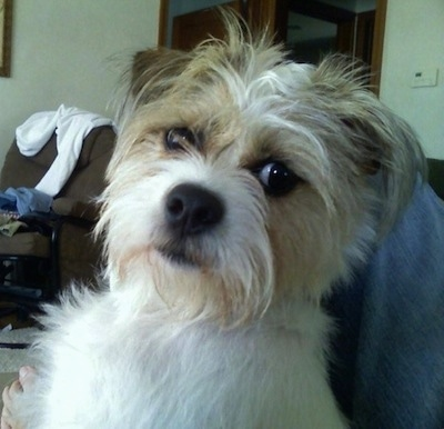 shih tzu terrier mix dogs ratshi terrier dog breed information and pictures 3297