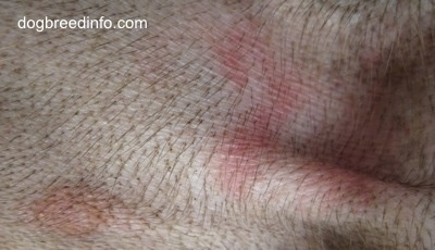 Ringworm rash on a dog