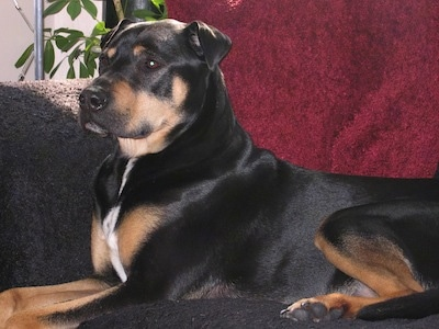 The left side of a Rott Pei that is laying across a couch and it is looking to the left. It has small folded ears.