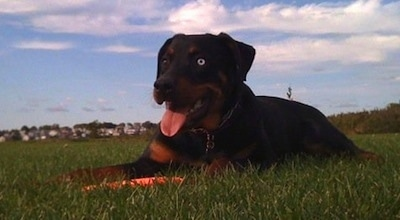 A black and tan Rottweiler is laying across a field and it is looking to the left. Its mouth is open and tongue is out. It has a blue eye.