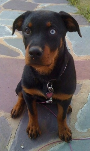A black and tan Rottweiler puppy is sitting on a stone step and it is looking forward and up. It has one blue eye and one brown eye.