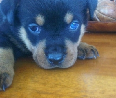 Close up - A black and tan Rottweiler puppy is laying its head down on a hardwood floor and it is looking forward. It has one blue eye.