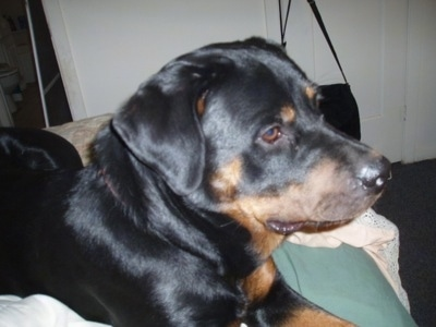 The front right side of a black and tan Rottweiler that is laying across a couch and it is looking to the right.