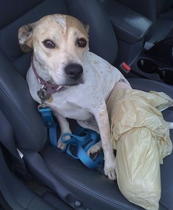 Maggie the Pit Bull Mix is sitting on the passenger side of a vehicle with a plastic bag over her leg