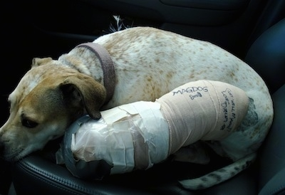 Maggie the Pit Bull mix laying down in the front seat of a car on the passenger side with a large cast on her leg