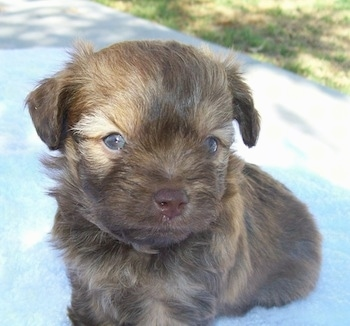 Close up front view - A small, young brown Russian Tsvetnaya Bolonka puppy is sitting on a porch and it is looking up and to the right.